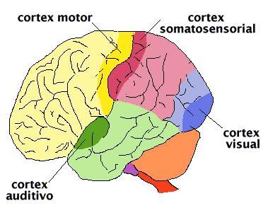 20071128152503-cortezascerebrales.jpg