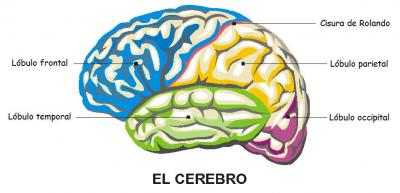 LÓBUL FRONTAL, PARIETAL, TEMPORAL Y OCCIPITAL