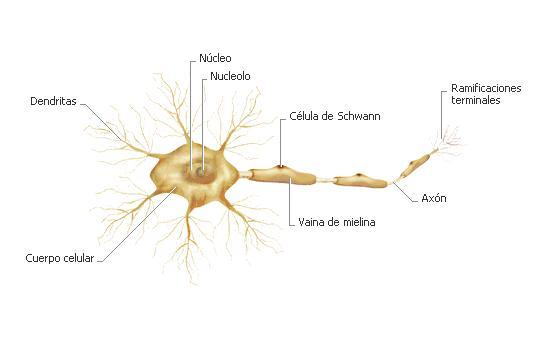 NEURONAS Y SUS TIPOS